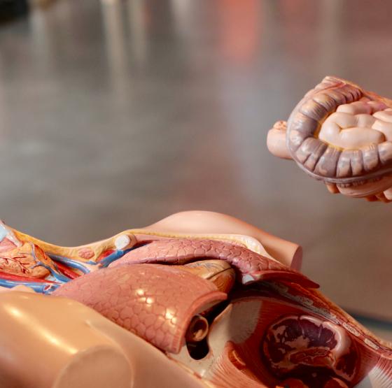 Die inneren Organe des Menschen. Die Atmung beeinflusst die Verdauung.